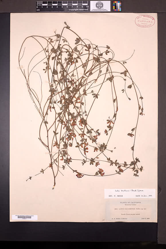 Image of Acmispon cytisoides