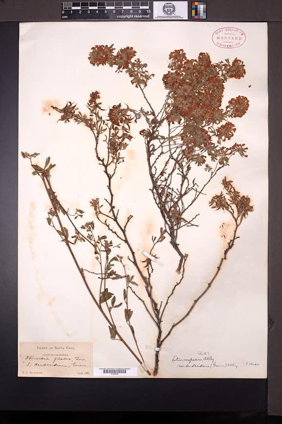 Image of Acmispon dendroideus