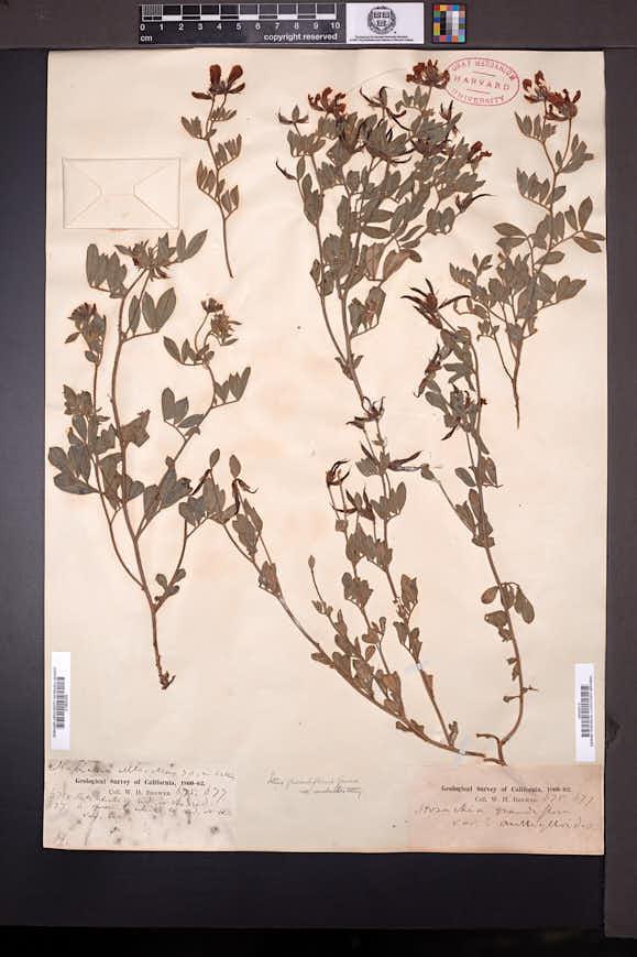 Image of Acmispon grandiflorus