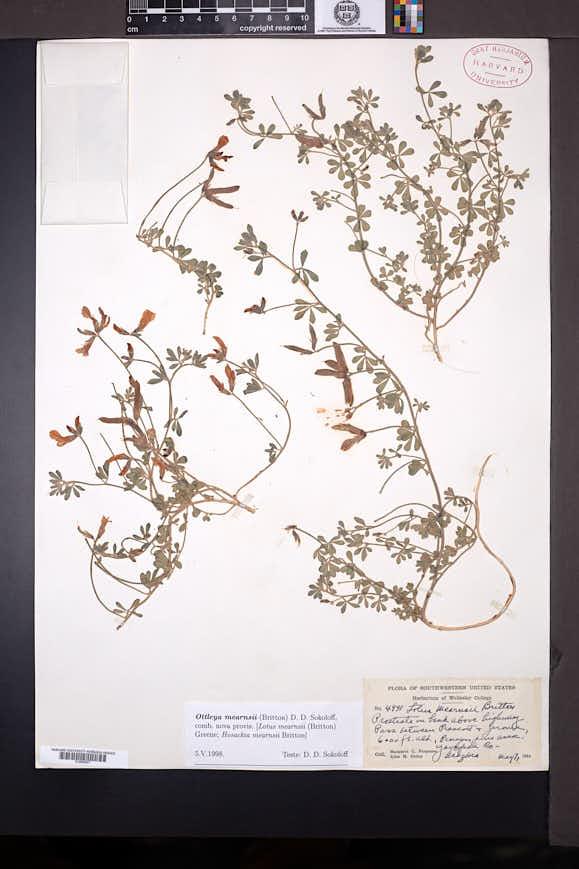 Image of Acmispon mearnsii