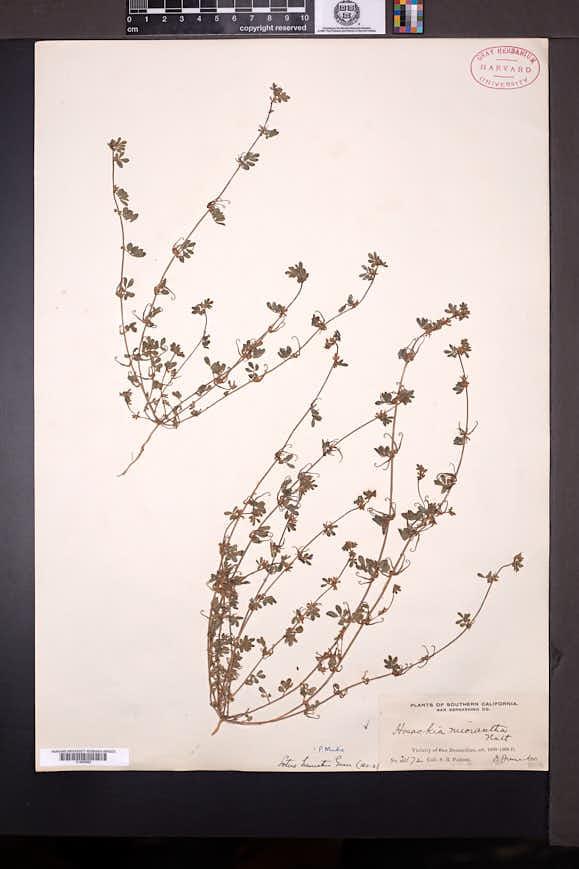 Acmispon micranthus image