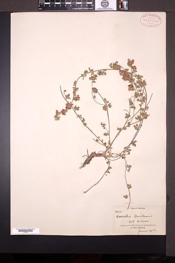 Acmispon nevadensis image