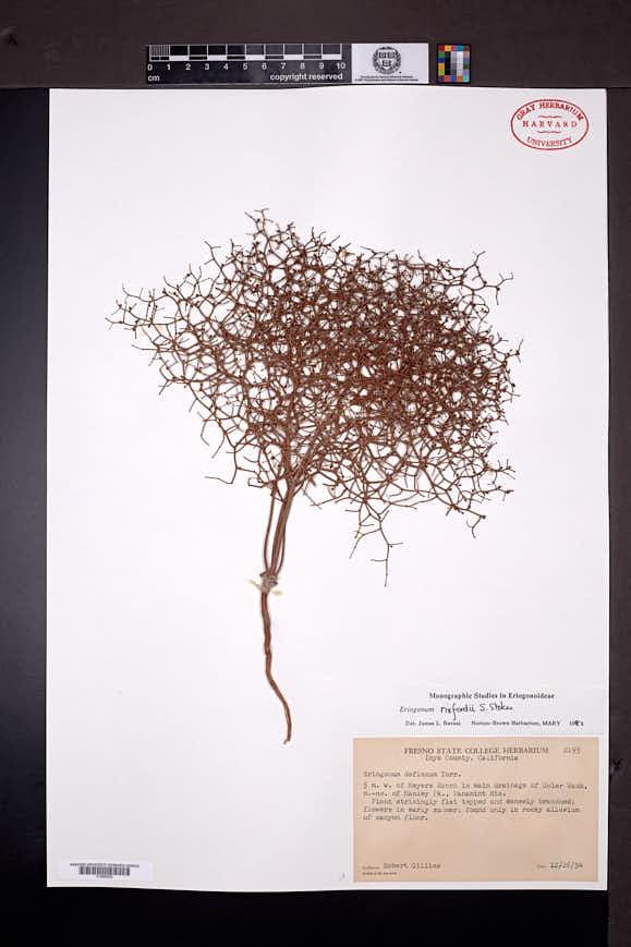 Eriogonum rixfordii image