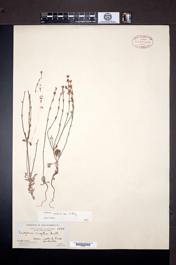 Eriogonum roseum image
