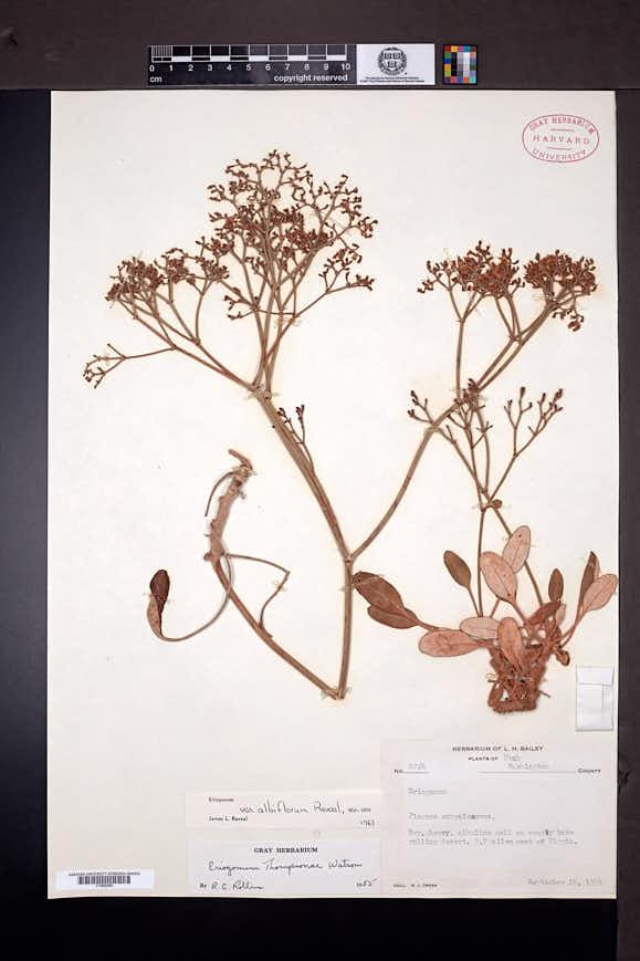 Eriogonum thompsoniae image