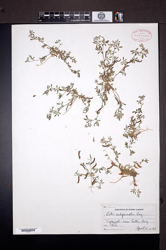 Image of Acmispon subpinnatus