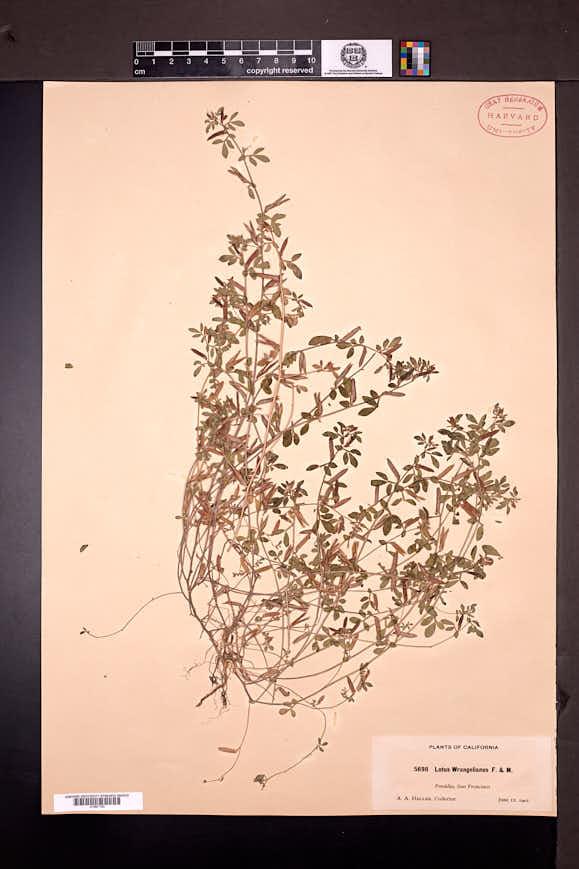 Acmispon subpinnatus image