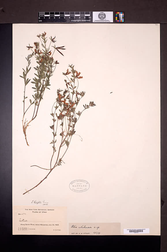 Acmispon utahensis image