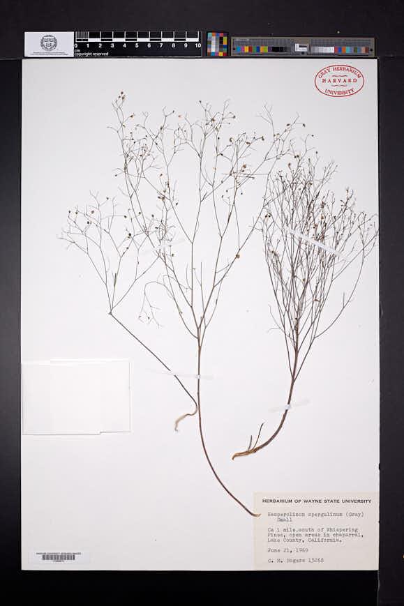 Hesperolinon spergulinum image