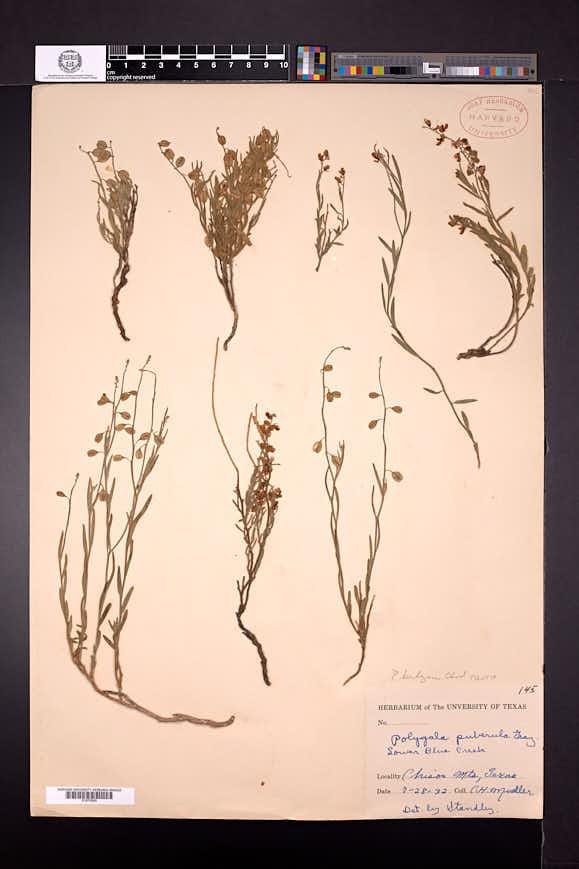 Polygala barbeyana image