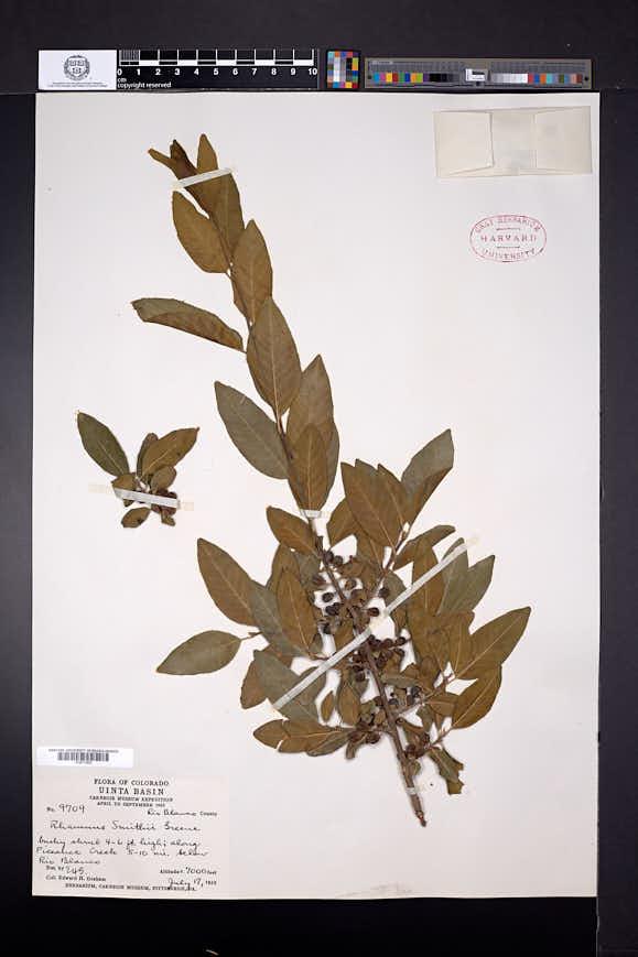 Rhamnus smithii image