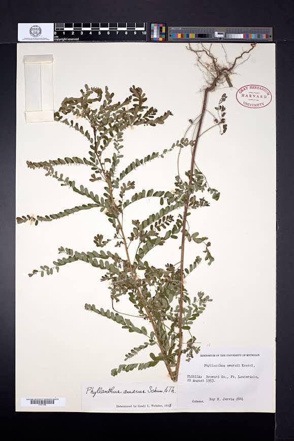 Phyllanthus amarus image