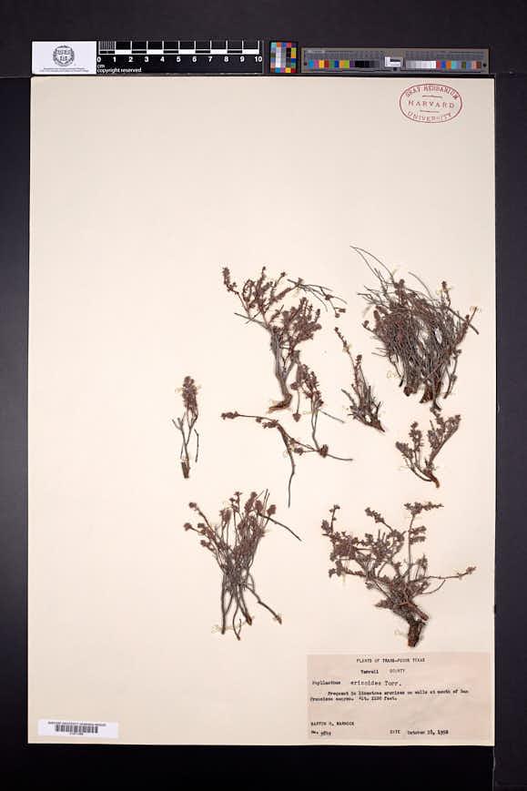 Image of Phyllanthus ericoides