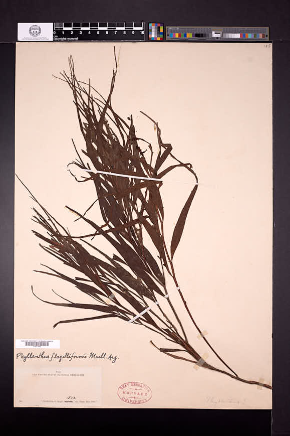 Image of Phyllanthus flagelliformis