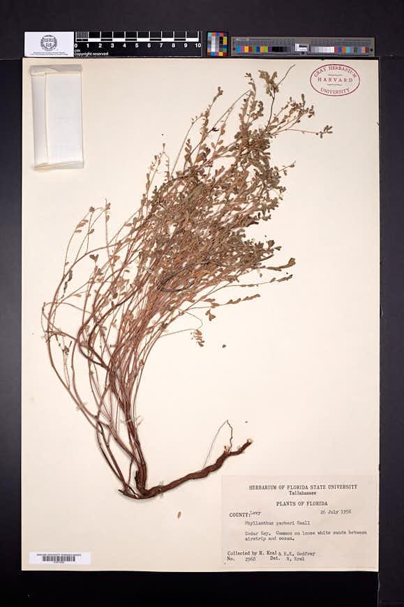 Image of Phyllanthus garberi