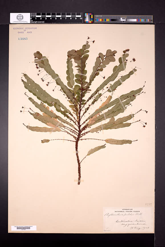 Image of Phyllanthus pulcher
