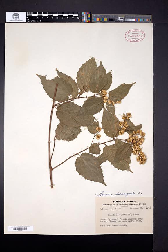 Gouania lupuloides image