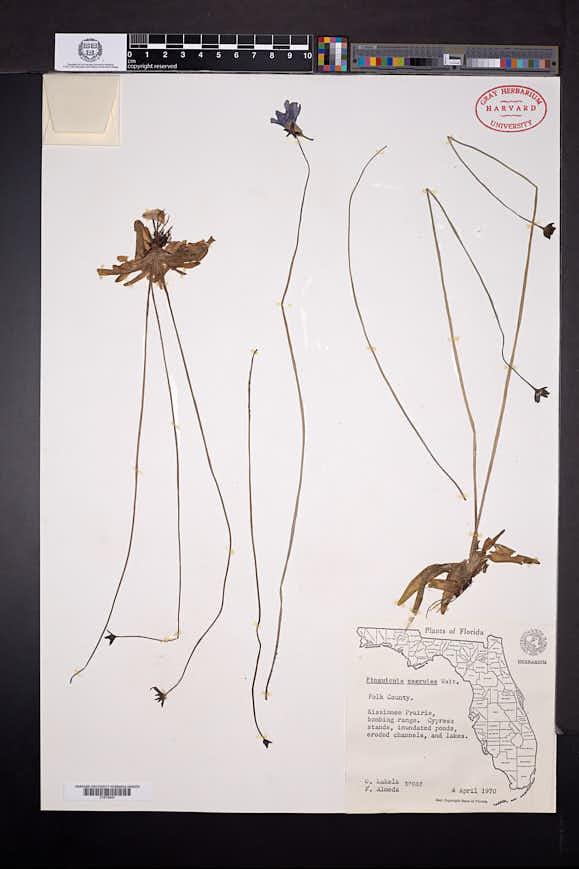 Pinguicula lilacina image