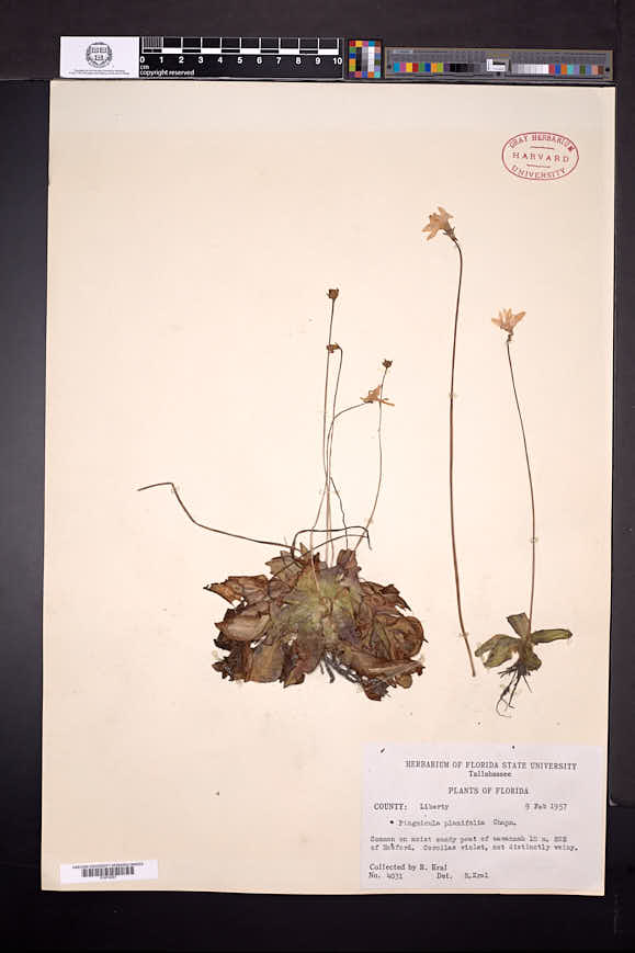 Pinguicula planifolia image