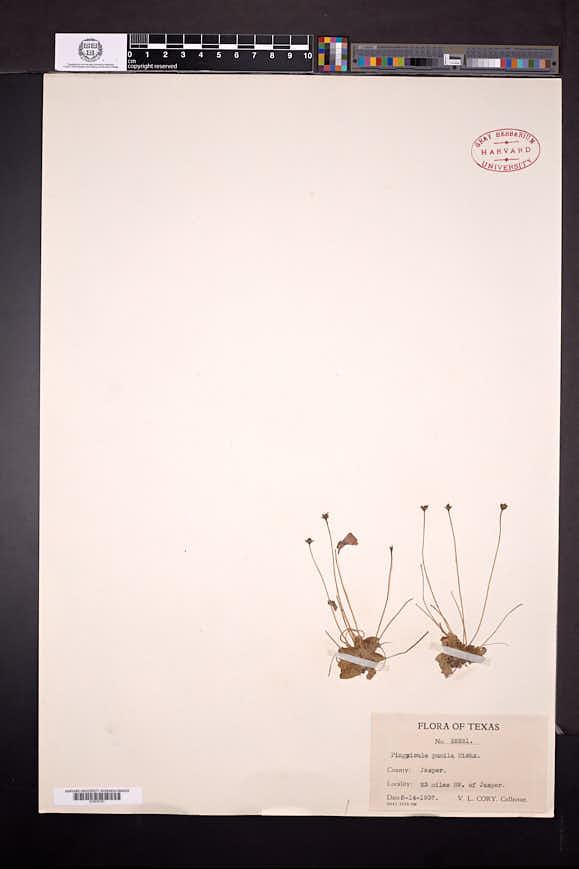Pinguicula pumila image