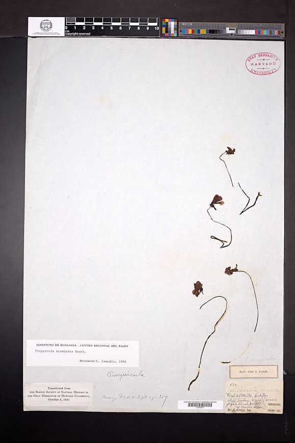 Pinguicula acuminata image