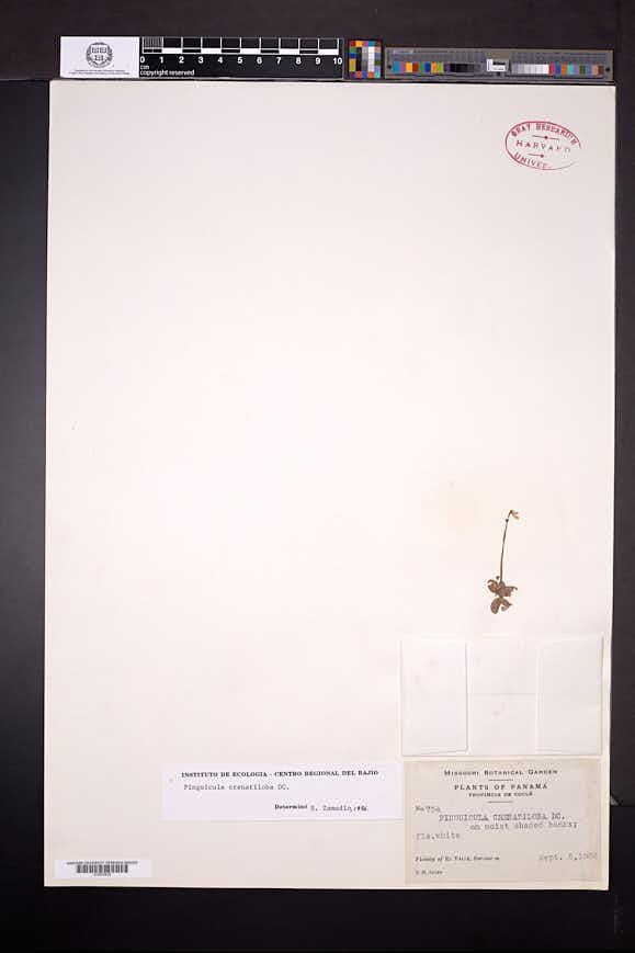 Pinguicula crenatiloba image