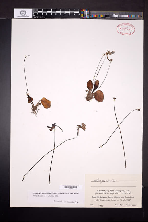 Pinguicula macrophylla image
