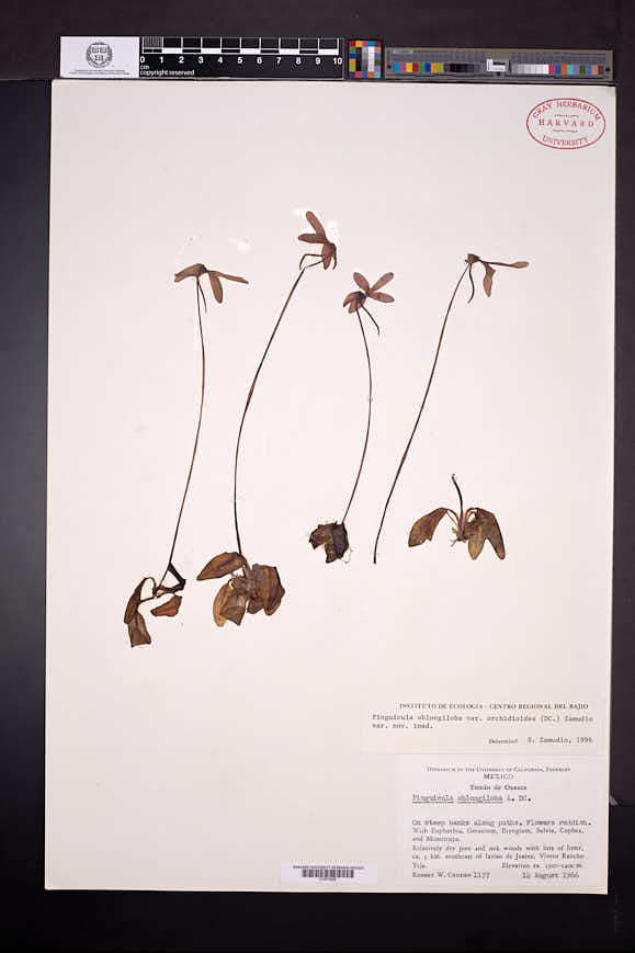 Pinguicula orchidioides image