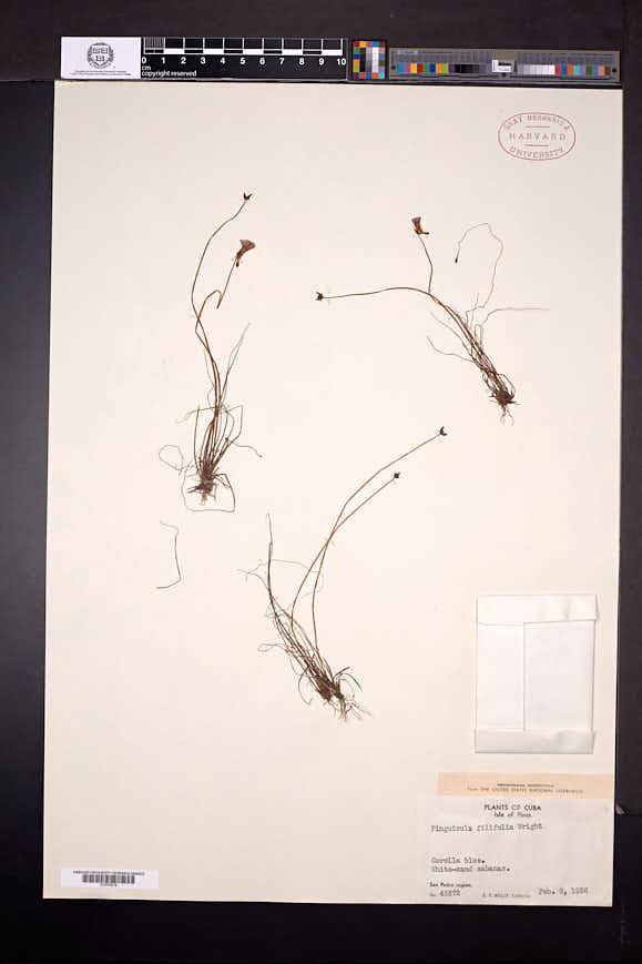 Pinguicula filifolia image