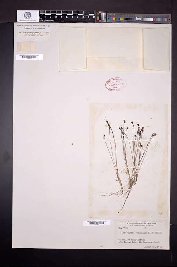 Utricularia resupinata image