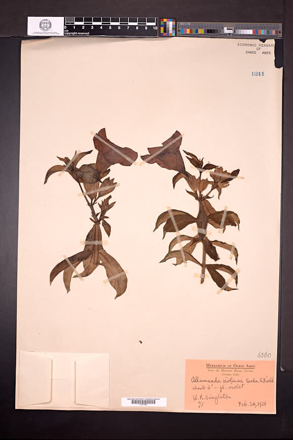Allamanda blanchetii image