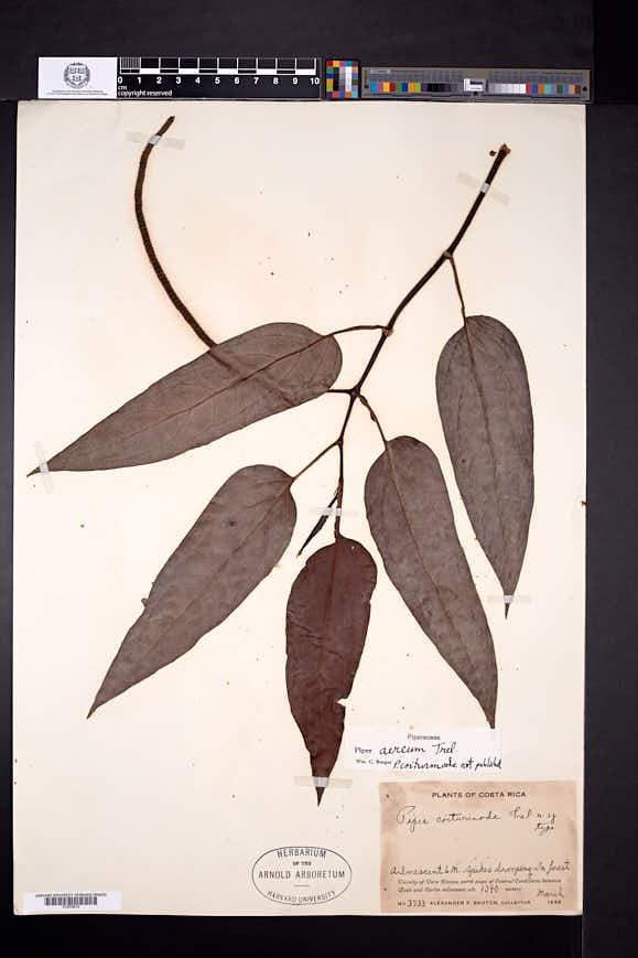 Image of Piper aereum