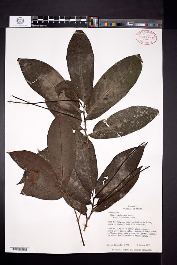 Piper arboreum image