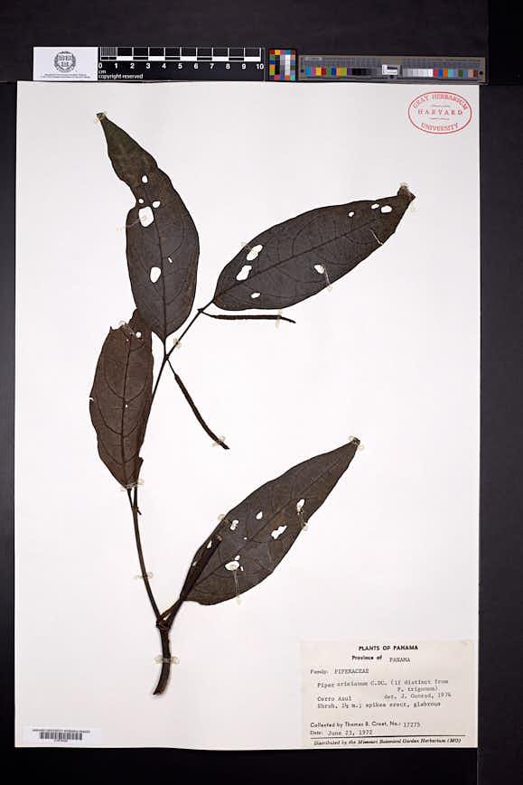 Piper arieianum image