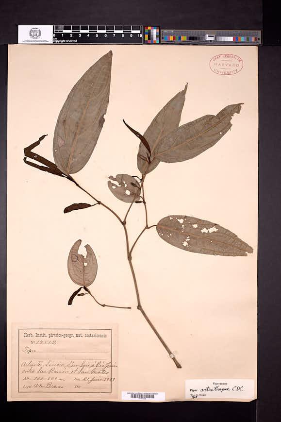 Image of Piper artanthopse