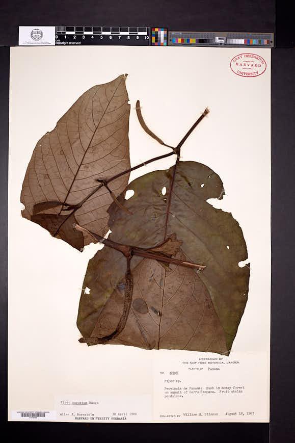 Image of Piper augustum