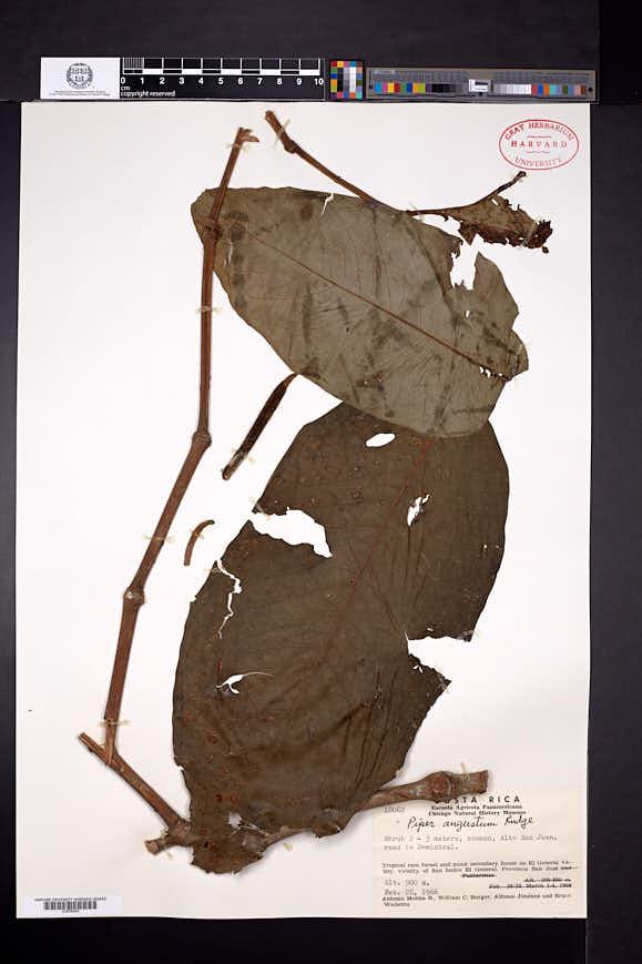 Piper augustum image