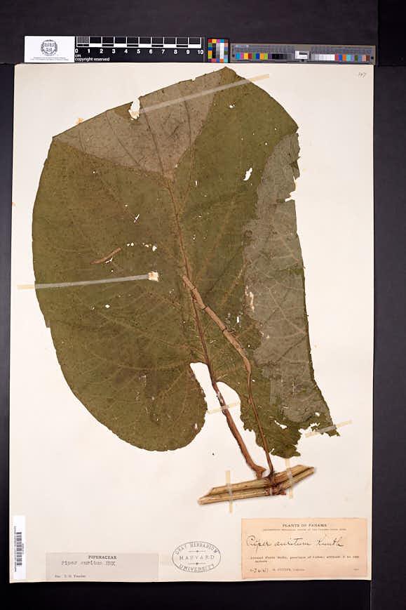 Piper auritum image