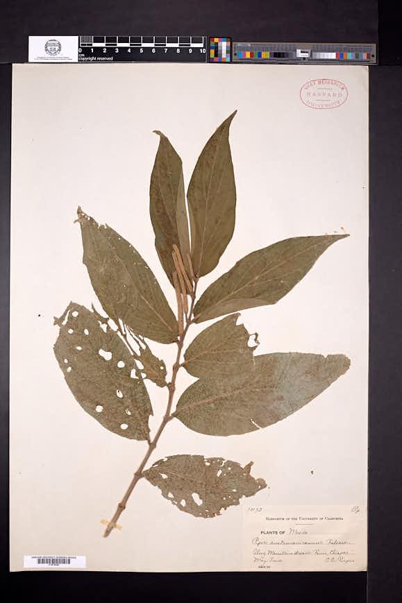 Image of Piper austromexicanum