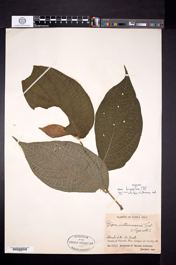 Piper biauritum image