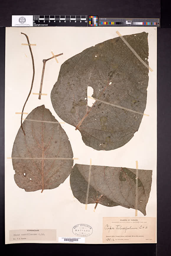 Piper carrilloanum image