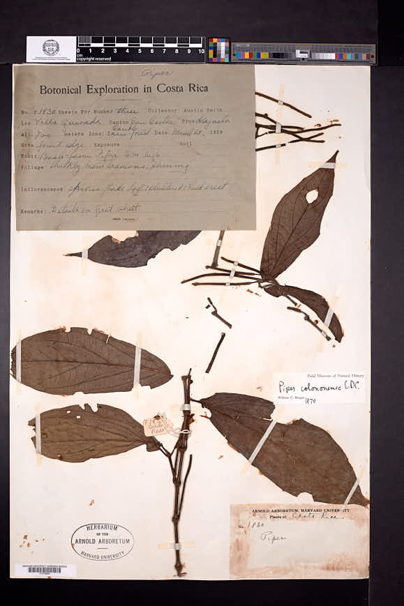 Piper colonense image