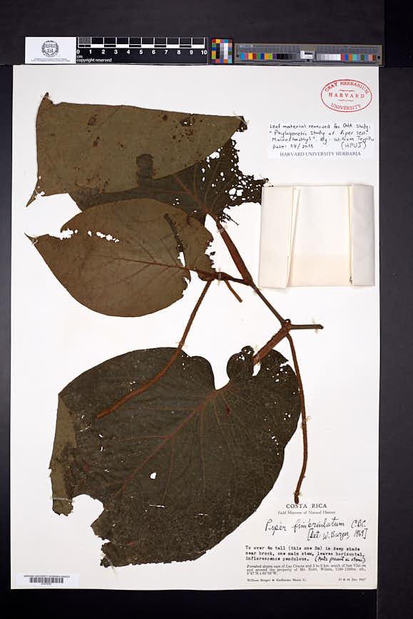 Piper fimbriulatum image