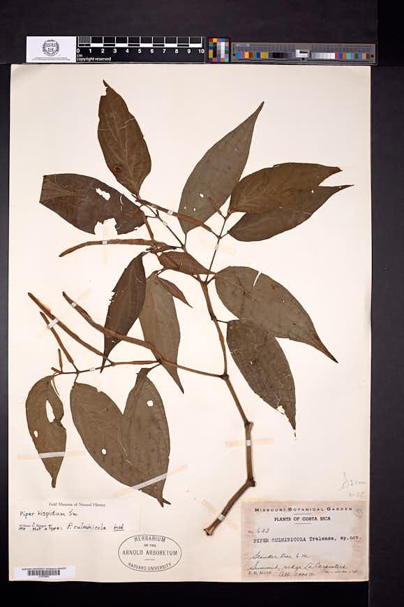 Piper hispidum image
