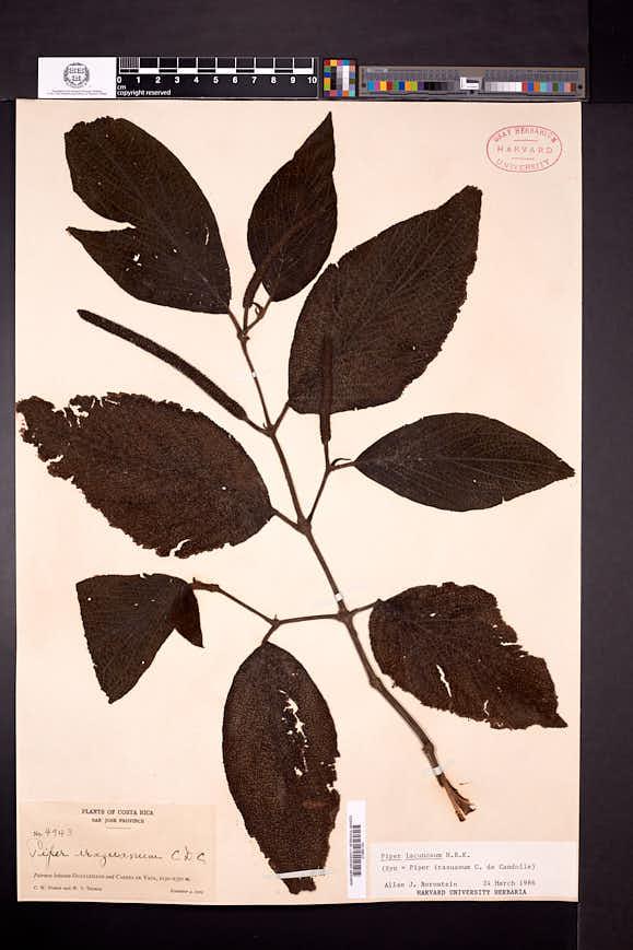 Piper lacunosum image