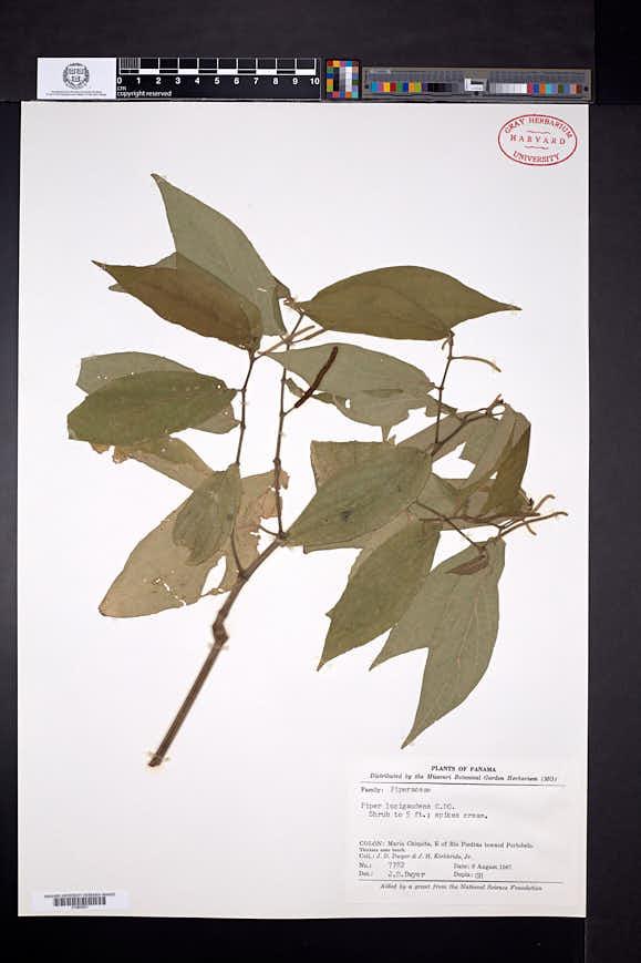 Piper lucigaudens image