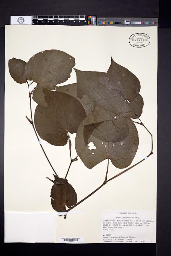 Piper marginatum image