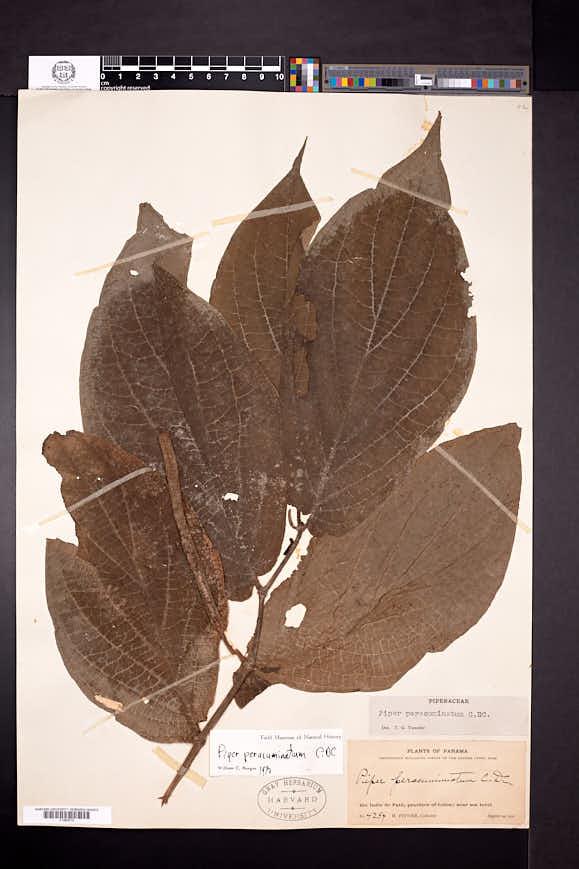Piper peracuminatum image