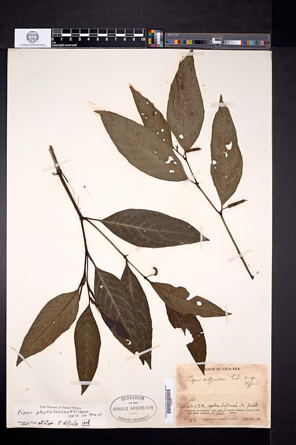 Piper phytolaccifolium image