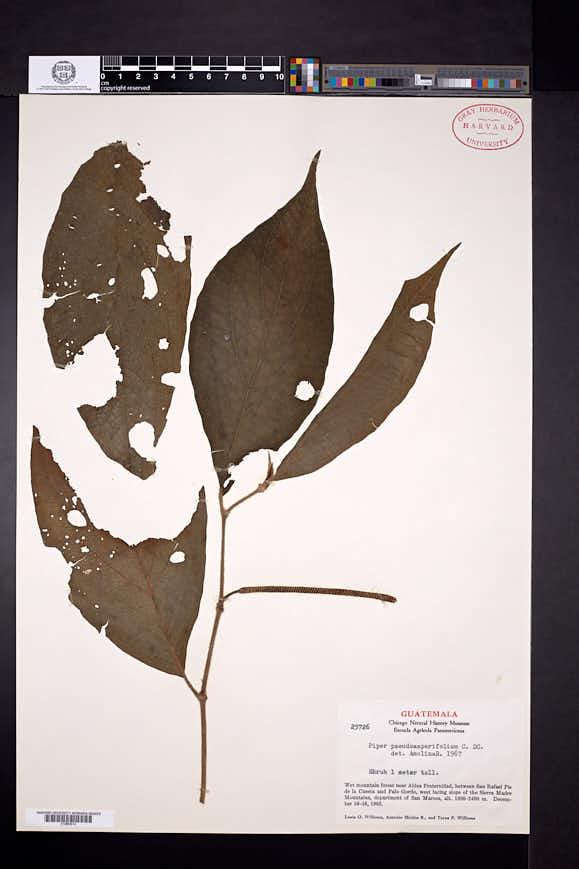 Piper pseudoasperifolium image